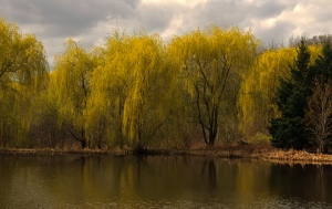 weeping-willowflowers-hoffman-hills-recreation-area-12-3-_1104a
